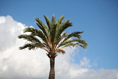 One green tall palm tree Royalty Free Stock Images