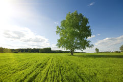 One green tree on the field Royalty Free Stock Photo