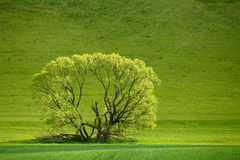 One green tree on meadow Royalty Free Stock Image