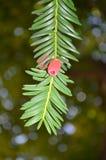 One green twig of European Yaw Royalty Free Stock Image