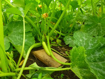 One green zucchini growing Royalty Free Stock Image
