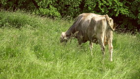 One grey brown cow feeding grass, green field aroung, some trees on background. 4K 3840 x 2160 ultra high definition footage stock video footage
