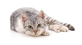 One grey cat. One gray cat on a white background royalty free stock photography
