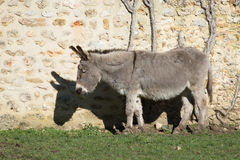 One grey donkey Royalty Free Stock Image