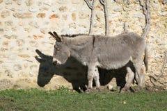 One grey donkey Royalty Free Stock Image