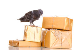 One grey messenger-pigeon and parcels Royalty Free Stock Photos