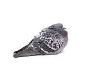 One grey pigeon Stock Photos