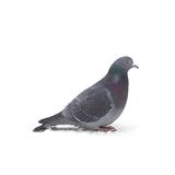 One grey pigeon Royalty Free Stock Photos