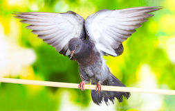 One grey pigeon sitting Stock Photo