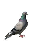 One grey pigeon on a white. Background Royalty Free Stock Image