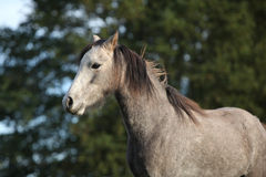 One grey pony with bad looking Royalty Free Stock Images