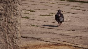One grey sad pigeon walking away. Close up romantic view of one grey sad pigeon walking away, alone and sad. Autumn in Opatija, Croatia, Europe stock images