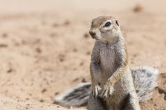 One Ground Squirrel looking for food in dry Kalahari sand. One Ground Squirrel looking for food in the dry Kalahari sand Stock Photos