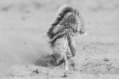 One Ground Squirrel looking for food in the dry Kalahari sand ar. Tistic conversion Royalty Free Stock Image