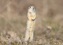 One ground squirrel stands on the ground in funny pose. Stock Photography