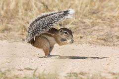 One Ground Squirrel using its tail as shield in the hot Kalahari sun Royalty Free Stock Photo