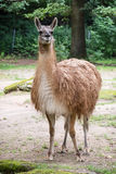 One Guanako (Lama guanicoe) Royalty Free Stock Image