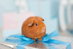 One guinea brown pig sitting on wrapped gift silver box in chris stock images