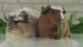 One guinea pig eating cucumber and second thought stock footage video stock video