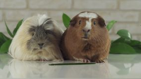 One guinea pig eating cucumber and second thought stock footage video stock footage