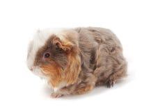 One guinea pig merino on white background Stock Photos