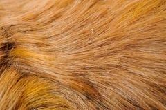 One guinea pig merino wool Stock Photo