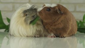 One guinea pig robs another cucumber struggle for survival slow motion stock footage video stock video footage