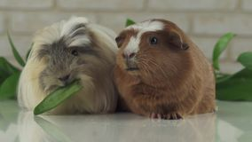 One guinea pig robs another cucumber struggle for survival slow motion stock footage video stock footage