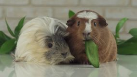One guinea pig robs another cucumber struggle for survival stock footage video stock footage