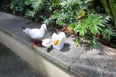 One gull discovered forgotten box of take-away food. Consisting mainly of rice, outdoor, low wall, sunny day royalty free stock photography