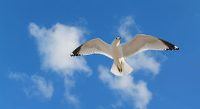 One Gull Flying Stock Image