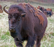 One and a half horned Bison Buffalo in Custer State Park in the Black Hills of South Dakota USA Royalty Free Stock Photography