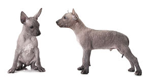 One and half month old xoloitzcuintle puppy. Studio shot on white background Stock Image