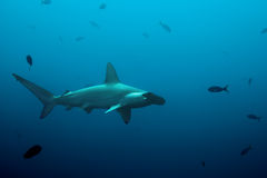 One hammerhead shark swimming in the ocean Royalty Free Stock Images