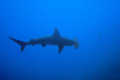 One hammerhead shark view from above in nature Stock Image