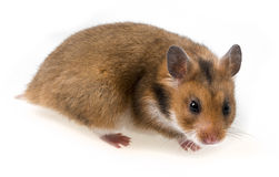 One hamster isolated Stock Photo
