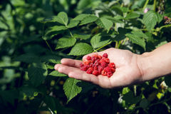One hand holds in the palm of a handful  fresh ripe red raspberries Royalty Free Stock Photo