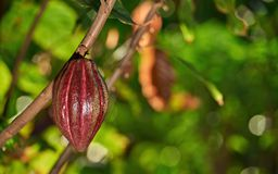 One hanging cocoa pod Stock Photo