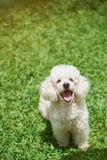 One happy white poodle dog Stock Images