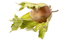 One hazelnut Royalty Free Stock Photography