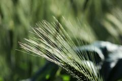 One spikelets of immature rye on the background of ripening green wheat in late July in summer. One head of immature rye on the background of ripening green stock photos