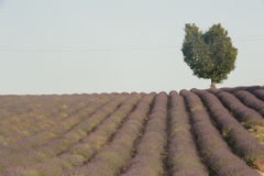 One heart-shaped tree sits atop a hill of a lavender farm. royalty free stock images