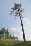High pine tree against blue sky stock image