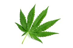 One hemp leaf Royalty Free Stock Photos