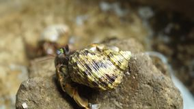 one hermit crab clings to a rock. stock video footage