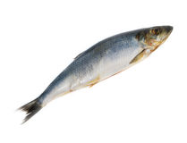 One herring Stock Photography