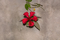 Only one hibiscus. Photo of beautiful big red flower on a wall.hibiscus, malvaceae, rose mallow, on a cement wall Stock Photo