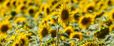 One high up sunflower in its field Stock Photography