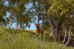 One highland cow .in a forest watching to the camera. Solo young cow under trees in the mountains royalty free stock images