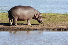 One Hippo. A solitary Hippo  on a sandy bank Stock Photography